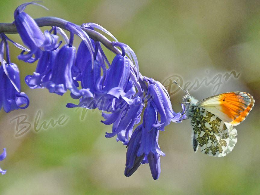 Hasenglöckchen 5 Tranditionelle Blauglocke Blau Knolle Frühling Blüher