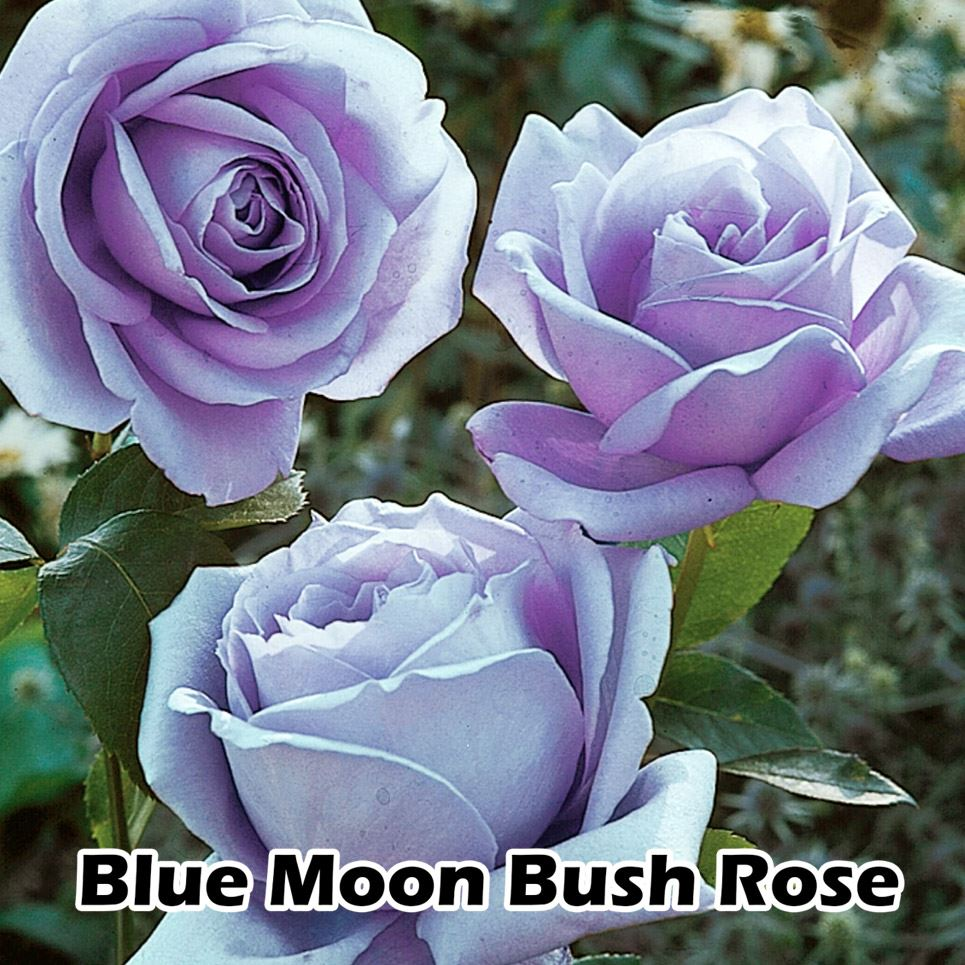 1 fragrant climbing bush rose bare rooted plant shrub for Where can i buy rainbow roses in the uk