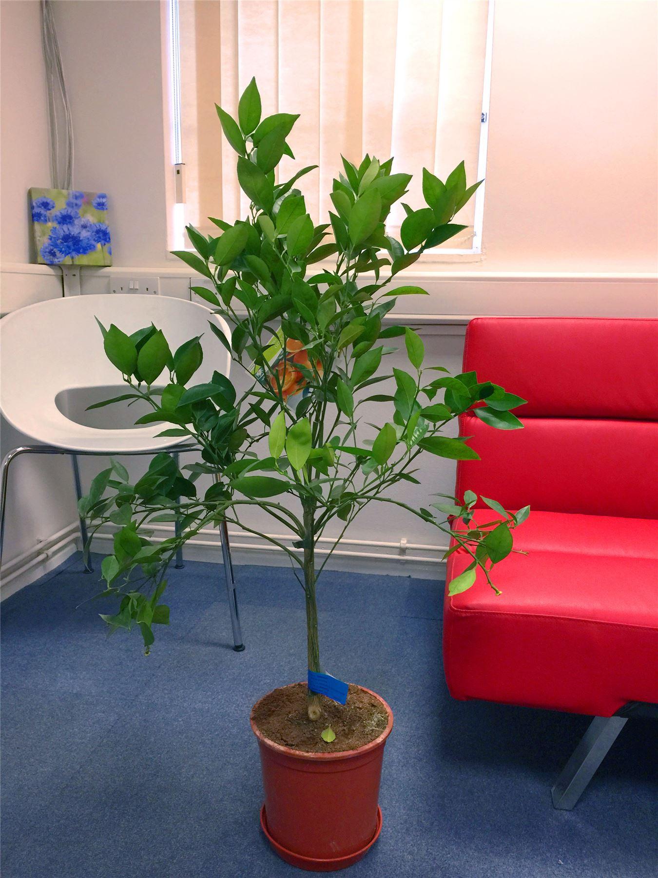 1 nano di alberi da frutto in vaso giardino pianta mela - Alberi nani da giardino ...