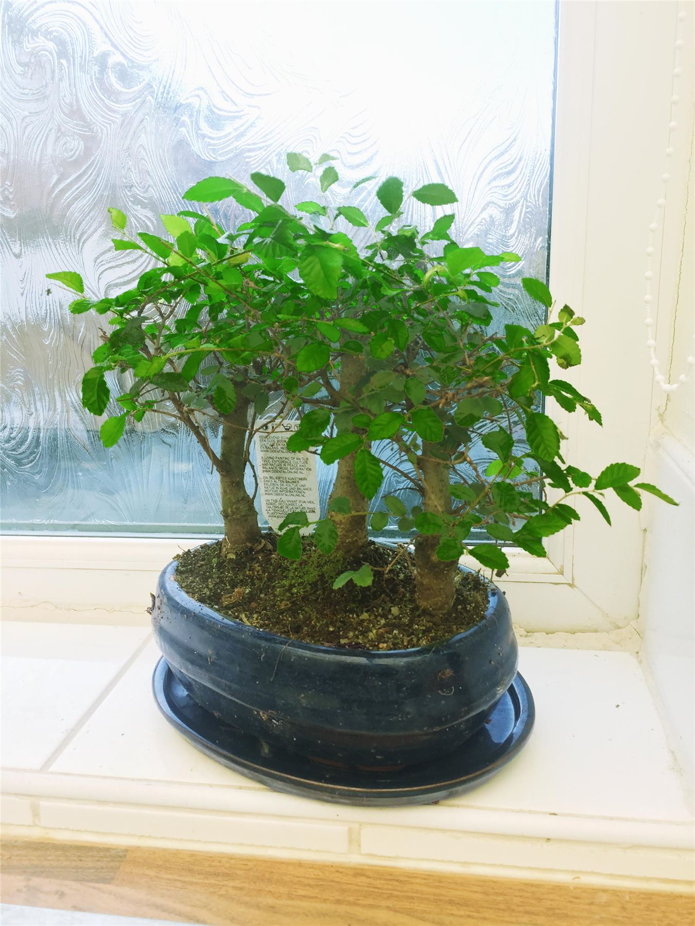 1 Garden Bonsai In Pot Ginseng Chinese Elm House Forest Plant Ebay