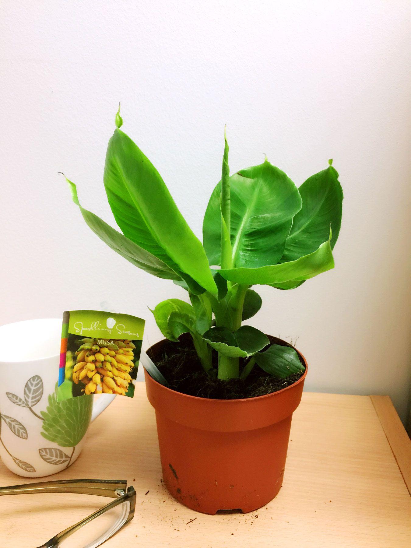 1 banane éthiopien maison plante musaceae tropical indoor outdoor