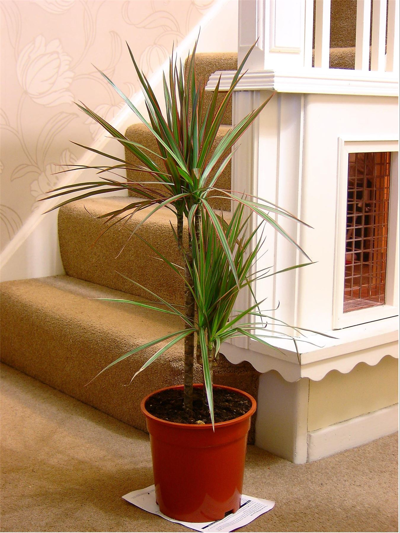 EasyPlants-TRADITIONAL-EVERGREEN-INDOOR-PLANT-GARDEN-TREE-POT-HOUSE-OFFICE