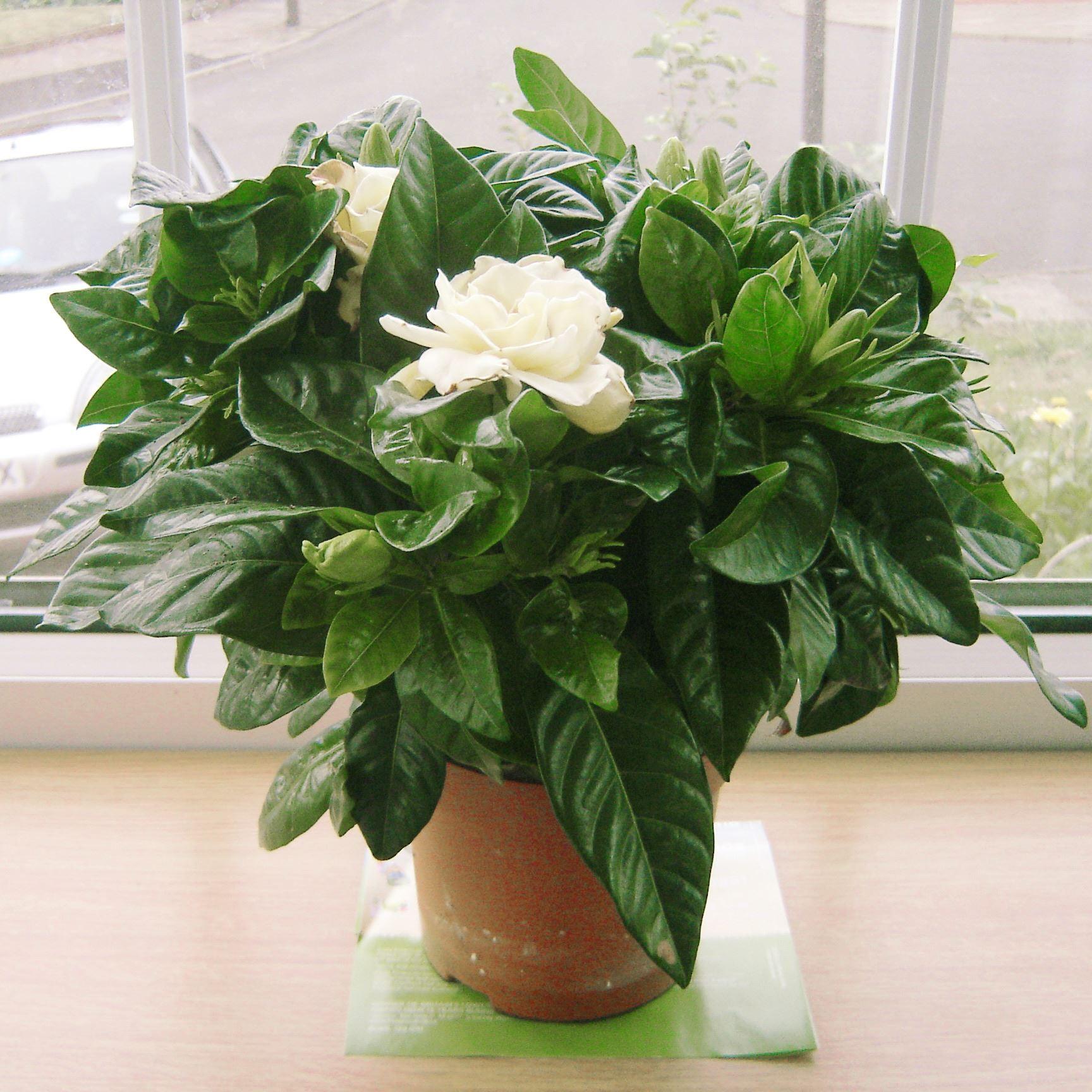Profumata fragranza gardenia jasmine gioielli della corona - Gardenia pianta da giardino ...