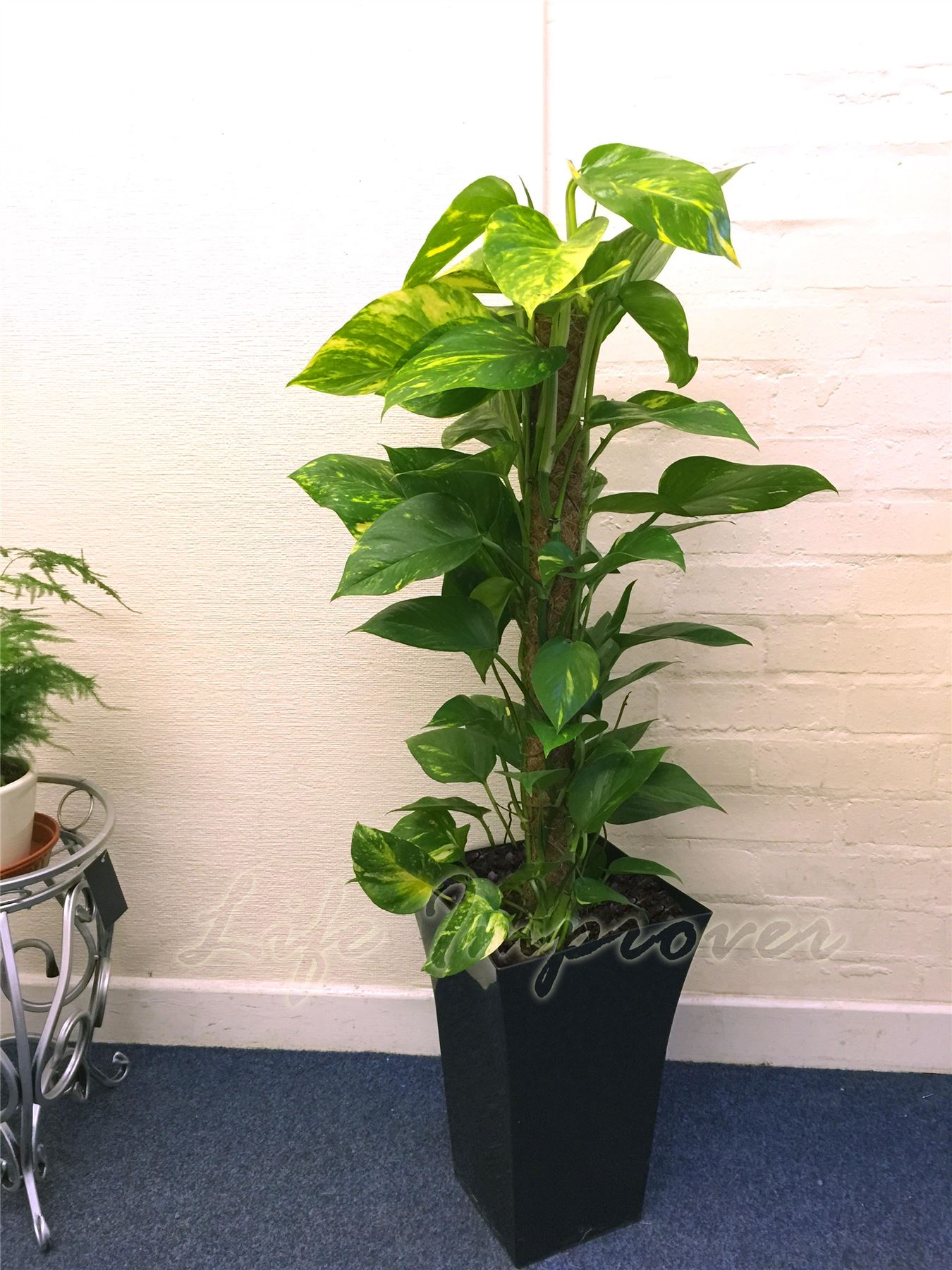 1 large indoor tree milano gloss pot office house conservatory evergreen plant ebay - Best tall indoor house plants ...