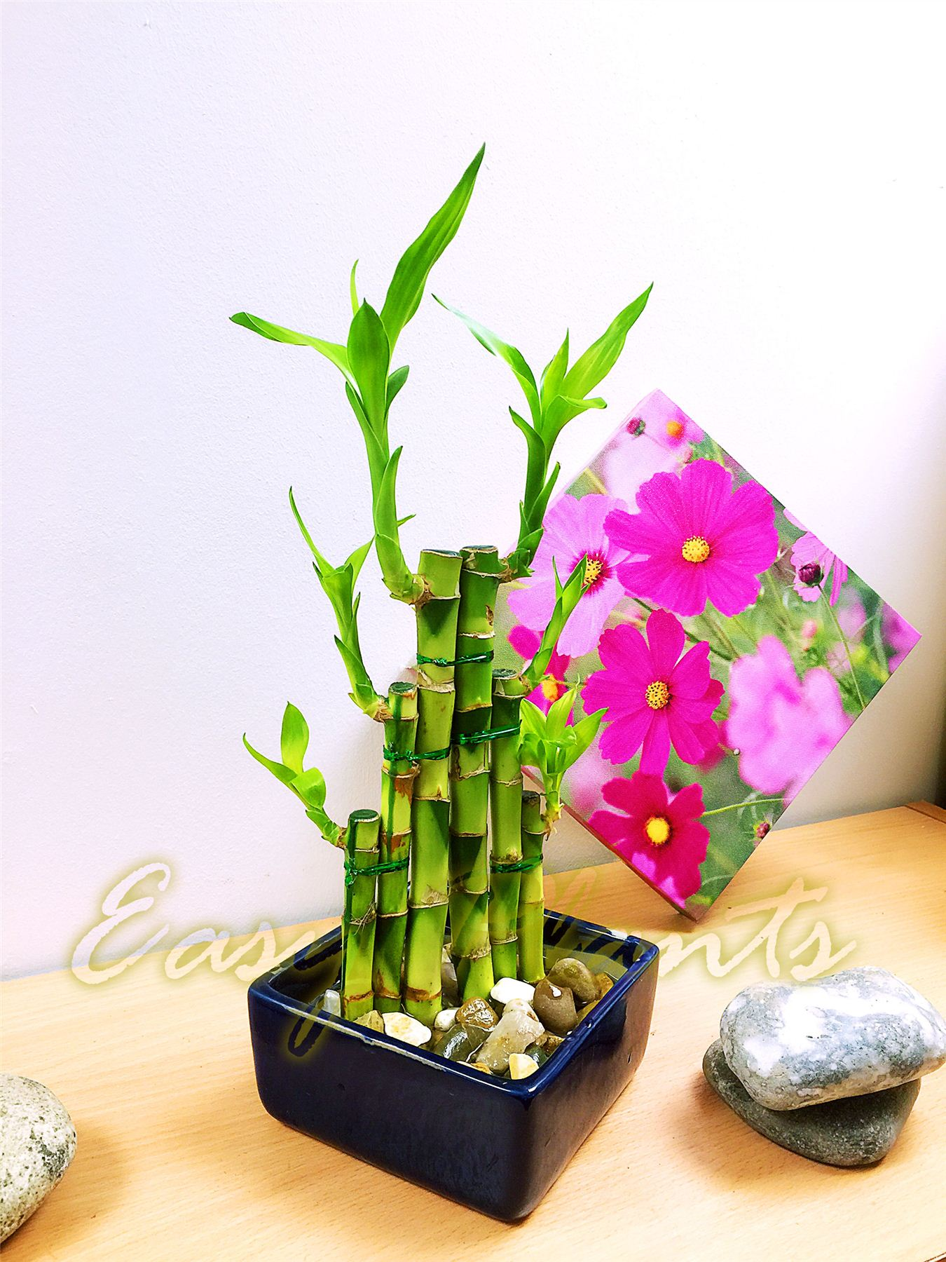 1 Lucky Bamboo Ribbon Plant Evergreen Indoor Bonsai In