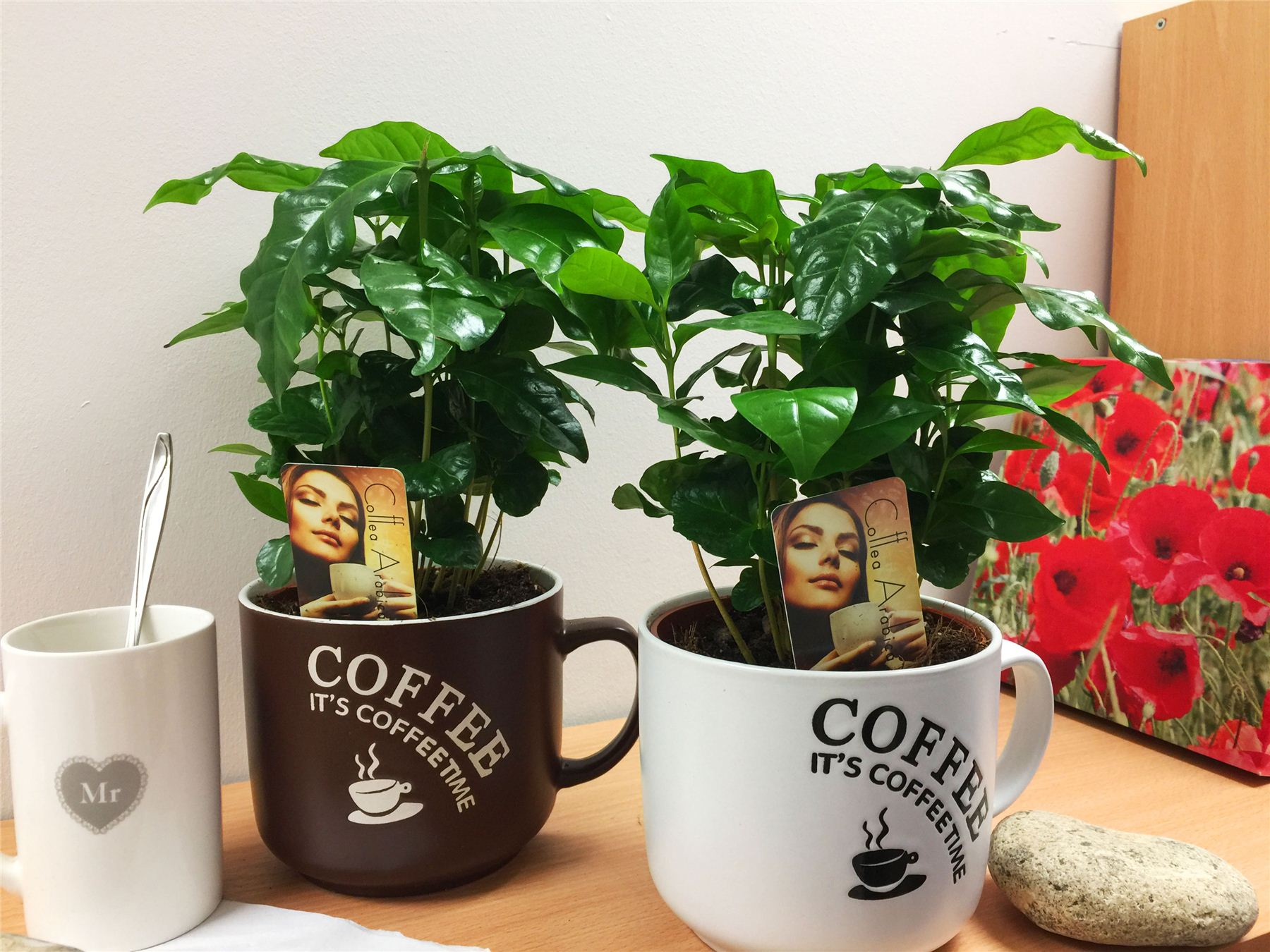 1 arabica coffee plant tree in pot indoor house garden grow your own coffea bean ebay. Black Bedroom Furniture Sets. Home Design Ideas