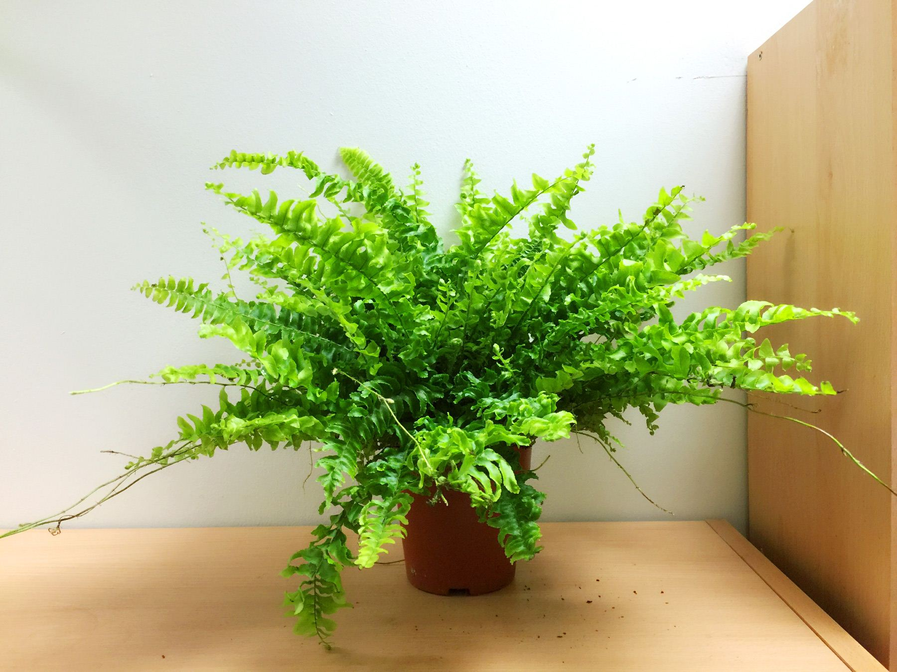 1 live boston fern large house plant pot indoor tropical for Fern house plant seeds
