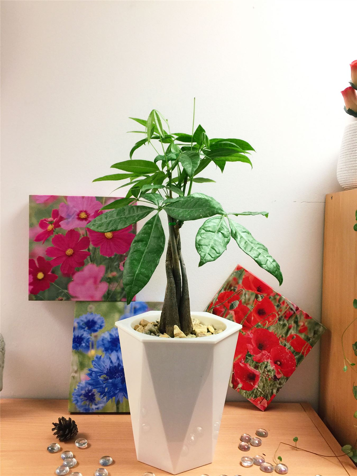 Details about Money Tree Pachira Fortune House Plant @ White Rhombus Self  Watering Pot Topping