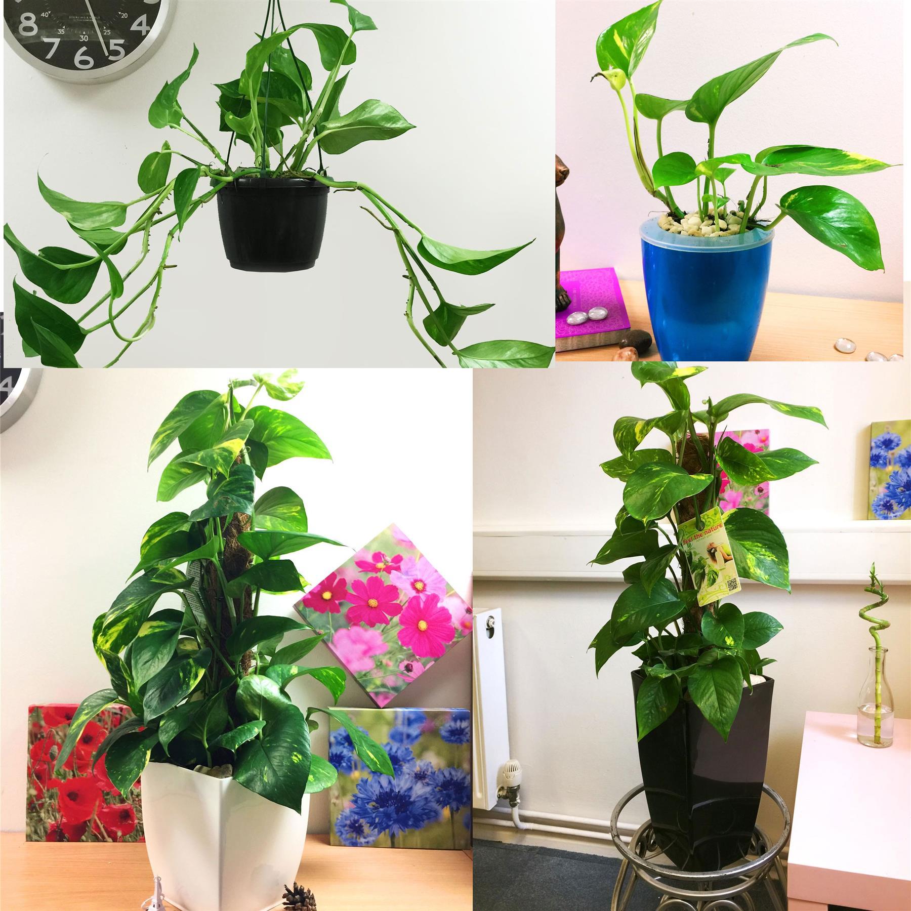 1 Devil S Ivy Golden Pothos Ivy Arum Evergreen Indoor Garden House Plant In Pot Ebay