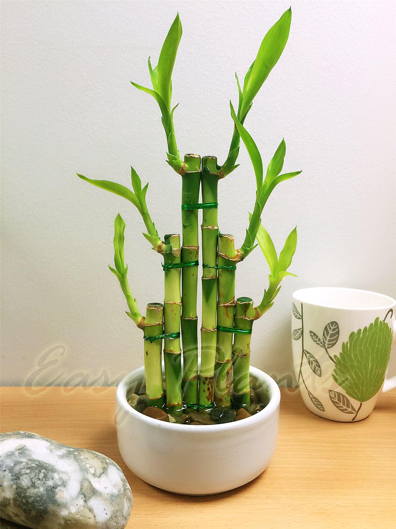 1 lucky bamboo cinta planta siempre verde interior bonsai - Cinta planta ...