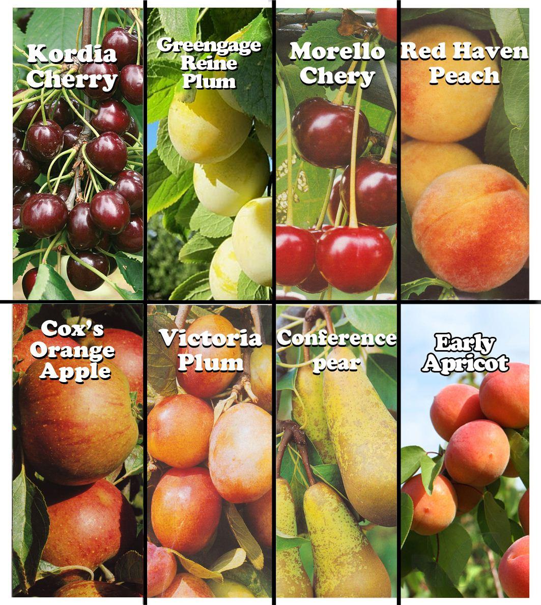 Foto Di Alberi Da Frutto dettagli su 1 hardy di alberi da frutto 4 - 5ft giardinaggio piante apple  cherry plum pere pesche albicocche- mostra il titolo originale