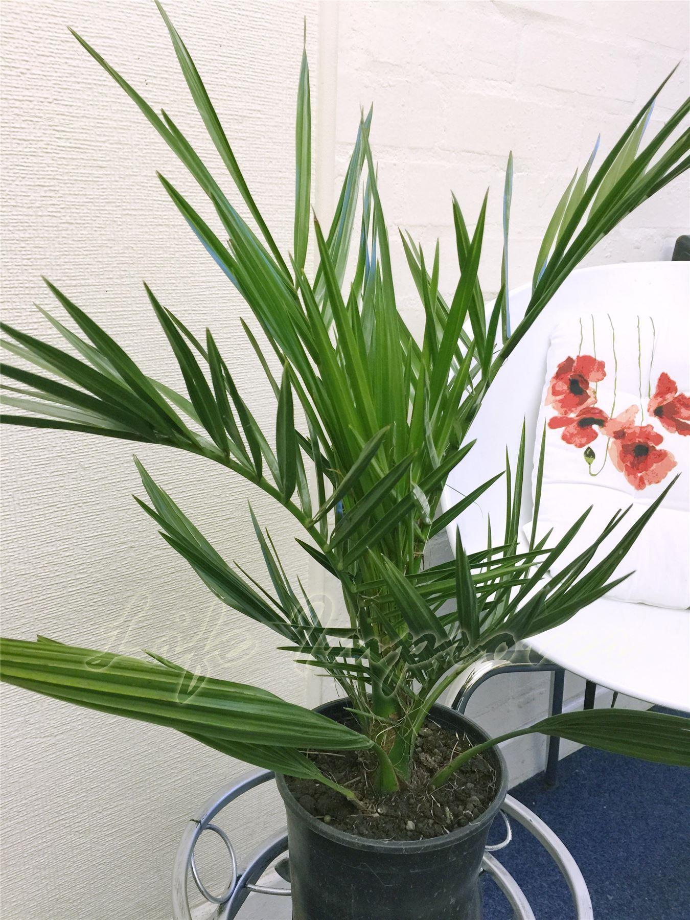 1 phoenix canariensis canary island date palmier en pot for Quel palmier en pot exterieur