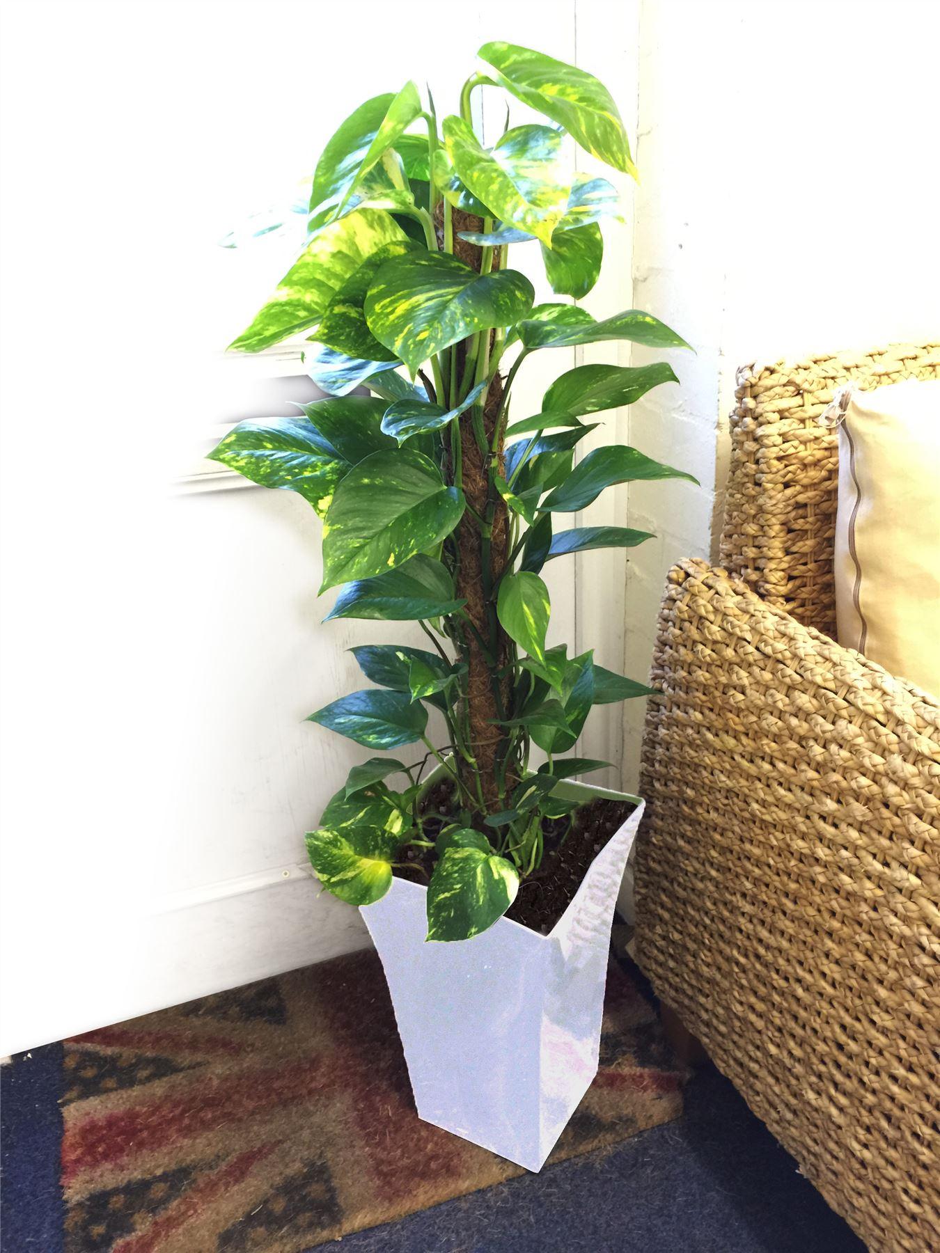 House Plants Large Golden Pothos Devil's Ivy House Office ... on ivy houseplant, yucca elephantipes house plant, ivy water plant, ivy ice plant, ivy flower, ivy indoor plant,