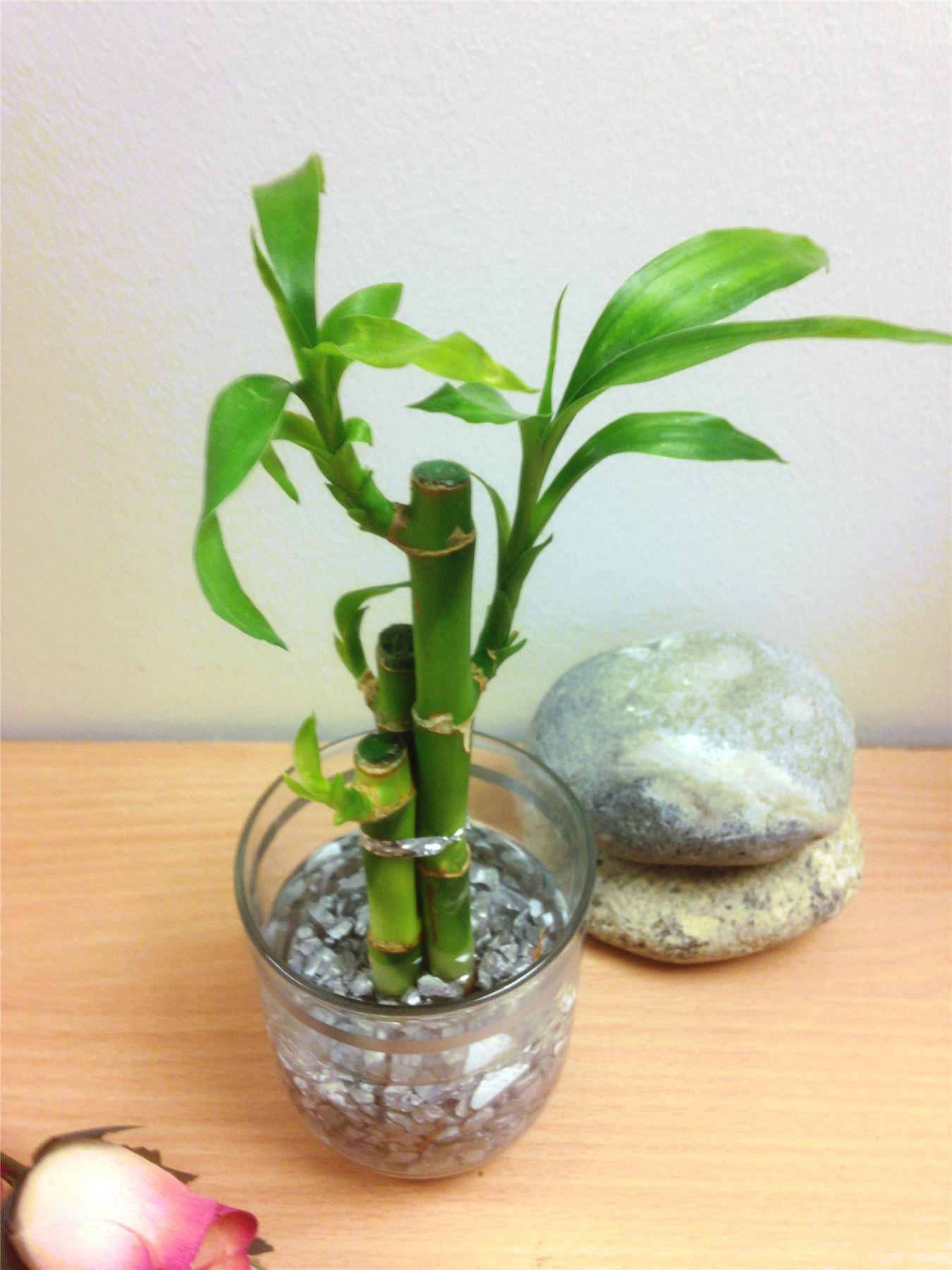 1 pentola di lucky bamboo in vaso di vetro colorato casa for Feng shui arredamento casa