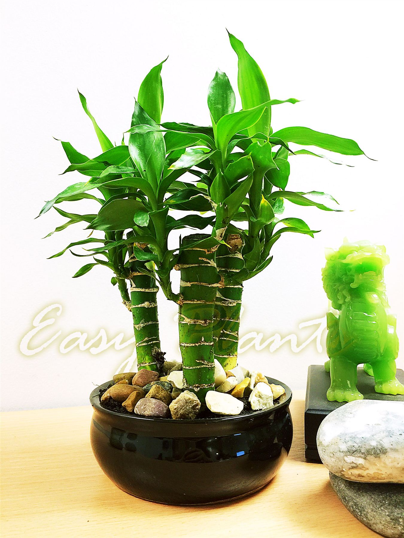 1 grand lotus bambou plante d 39 int rieur tubus pot evergreen maison feng shui chance ebay. Black Bedroom Furniture Sets. Home Design Ideas