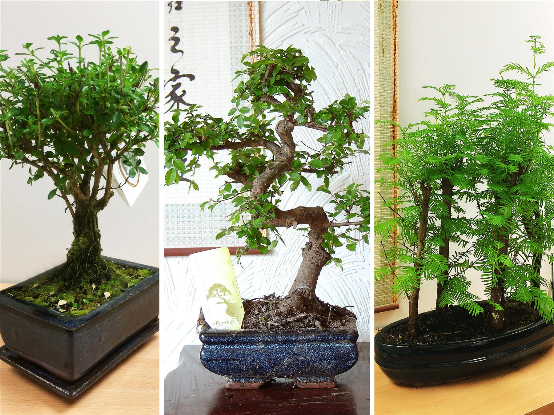 Traditional Forest Bonsai Tree Pot Chinese Elm Ginseng Outdoor Garden Plant Ebay