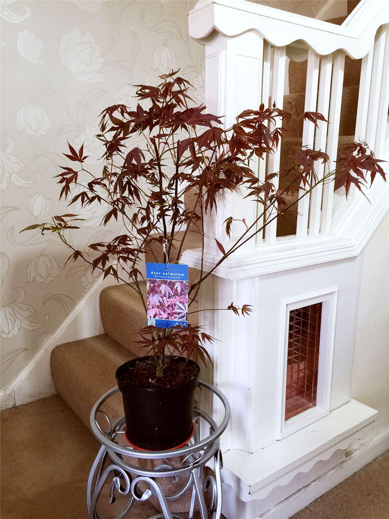 Immagini Di Piante E Alberi piante e bonsai acero giapponese acer palmatum casa albero