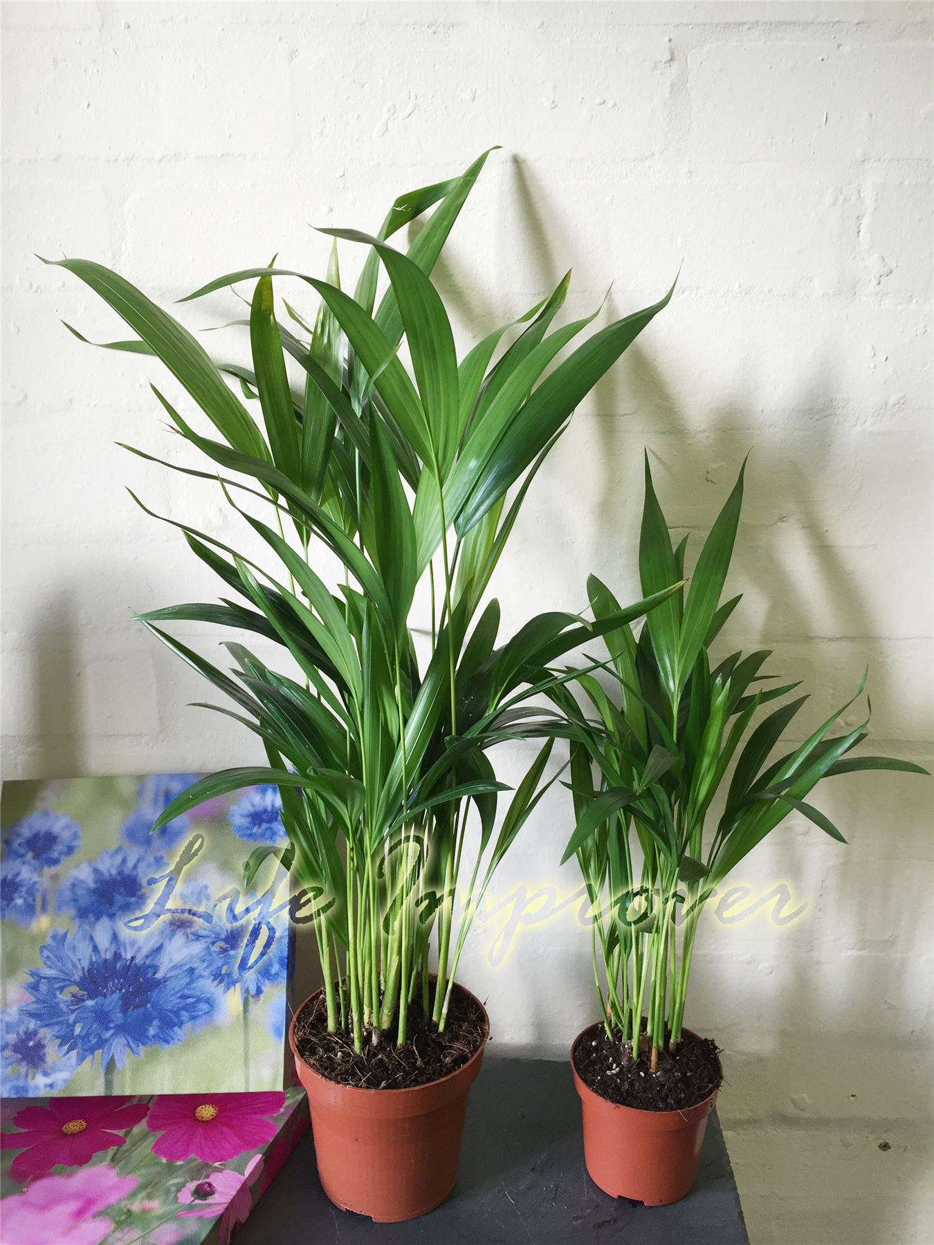 1 Areca Palm Plant In Pot Cane Palm Indoor Garden Office Evergreen