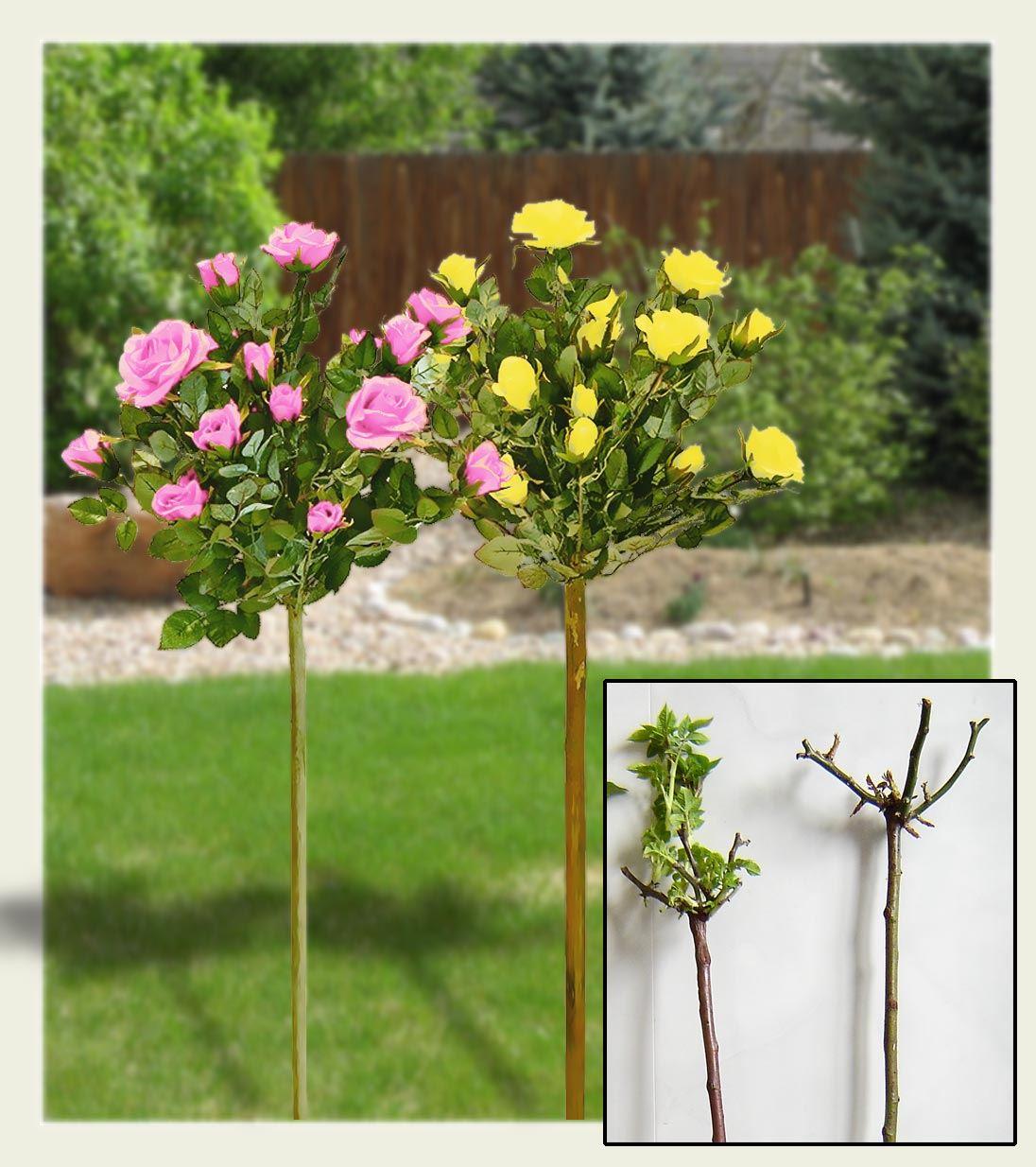 Giardinaggio Fiori.Rose 2ft In Piedi Bush Rose Tree In Vaso Profumato Giardinaggio