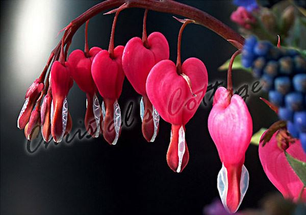 how to grow bleeding hearts