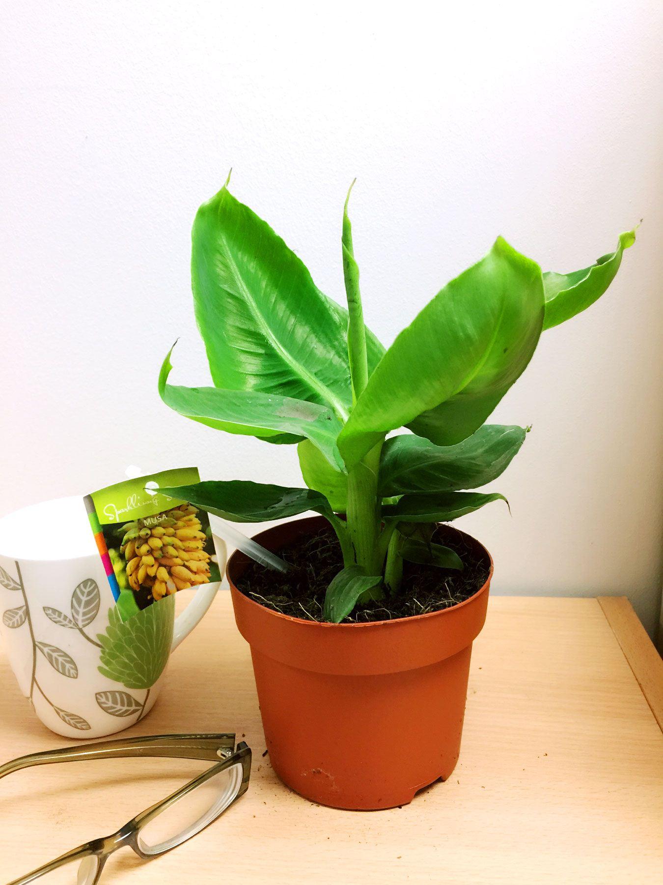 1 ethiopian banana house plant musaceae tropical indoor. Black Bedroom Furniture Sets. Home Design Ideas