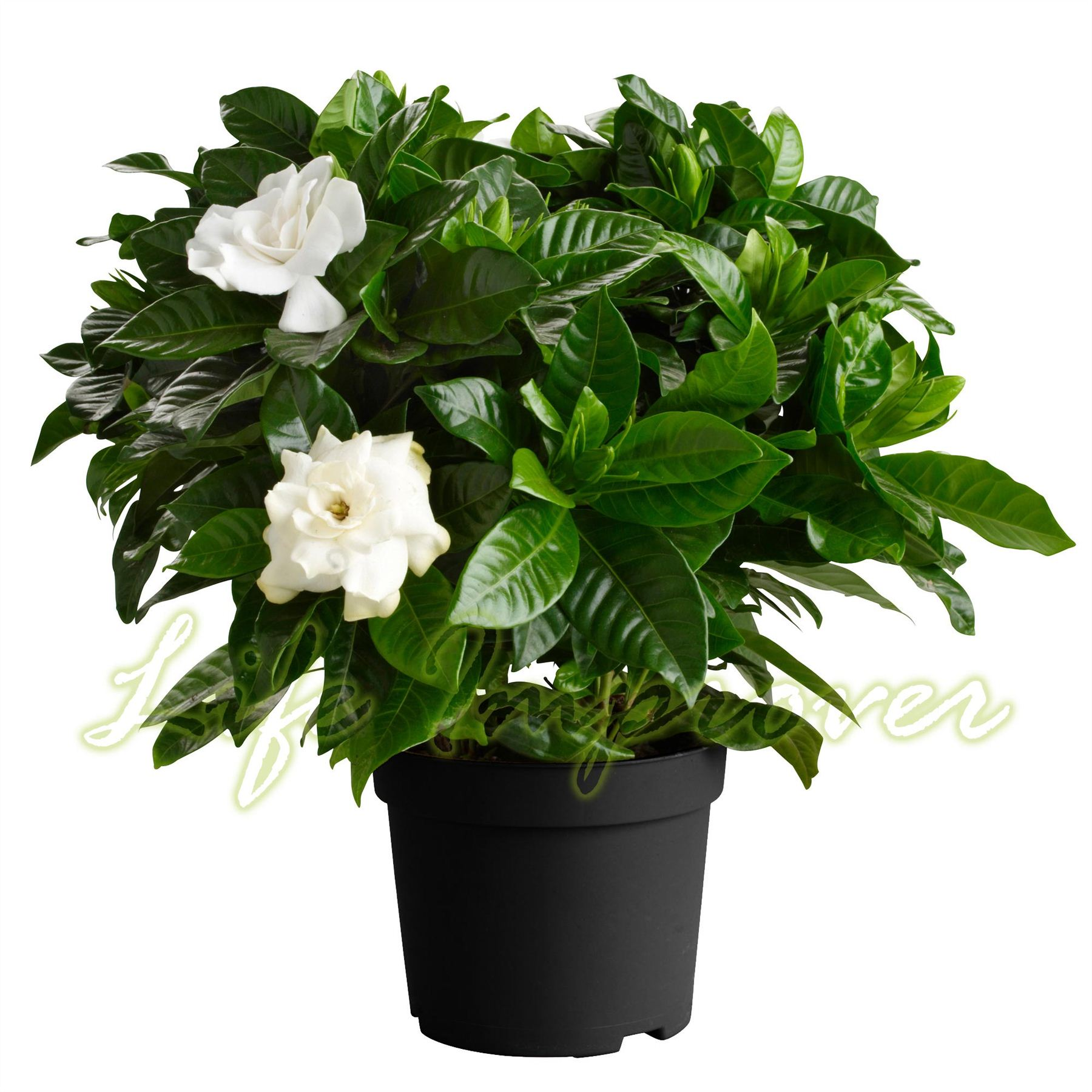 How to plant a gardenia - 1 Scented Fragrance Gardenia Jasmine Evergreen Indoorn House