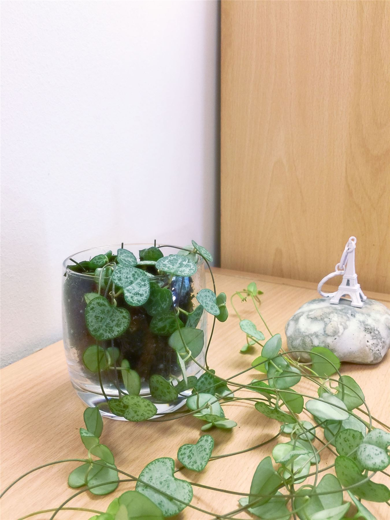 Chain of Hearts Succulent Cactus House Plant in Glass PVC Pot Garden Rosary Vine