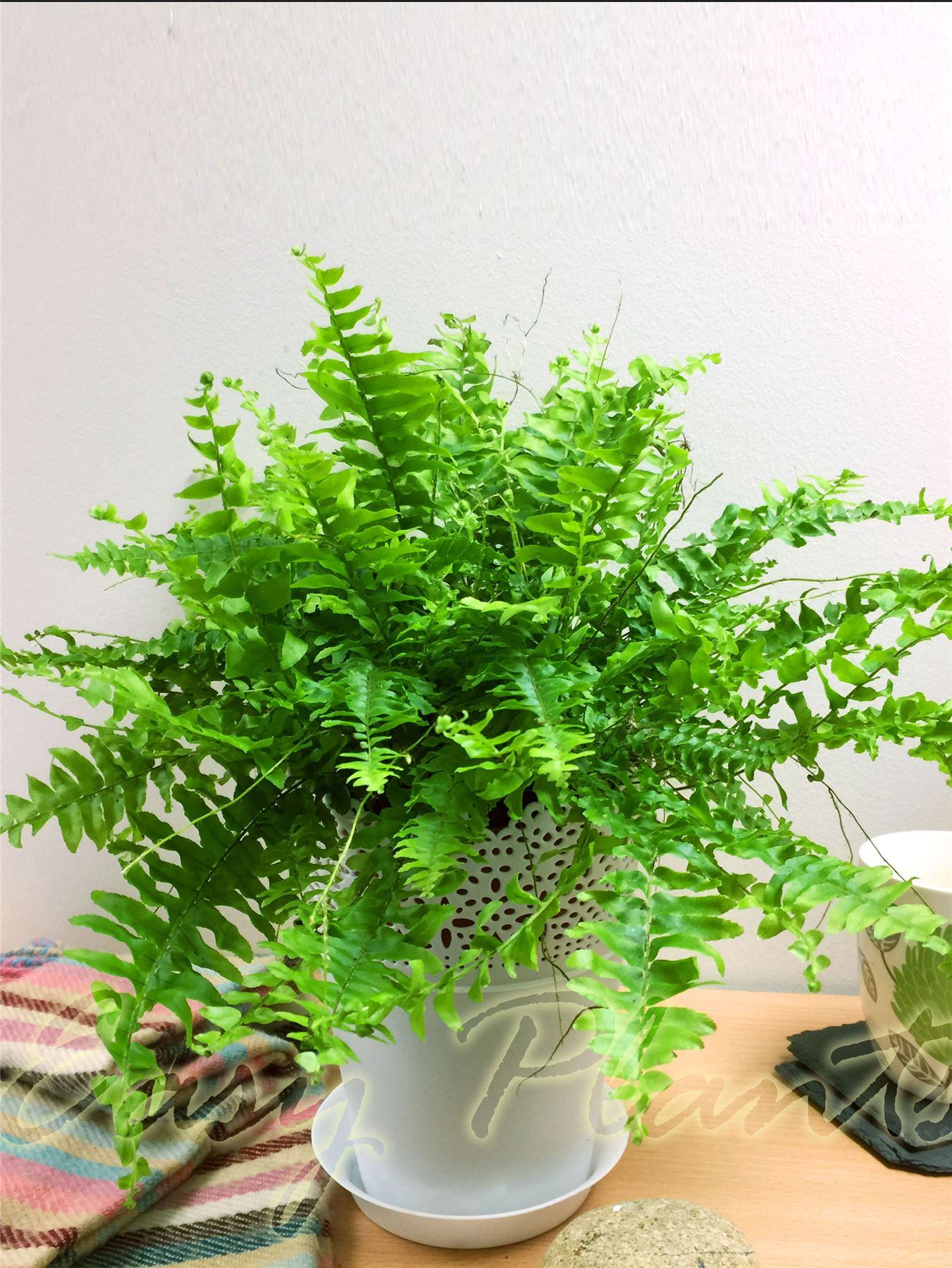 1 live boston fern large house plant pot indoor tropical Large house plants