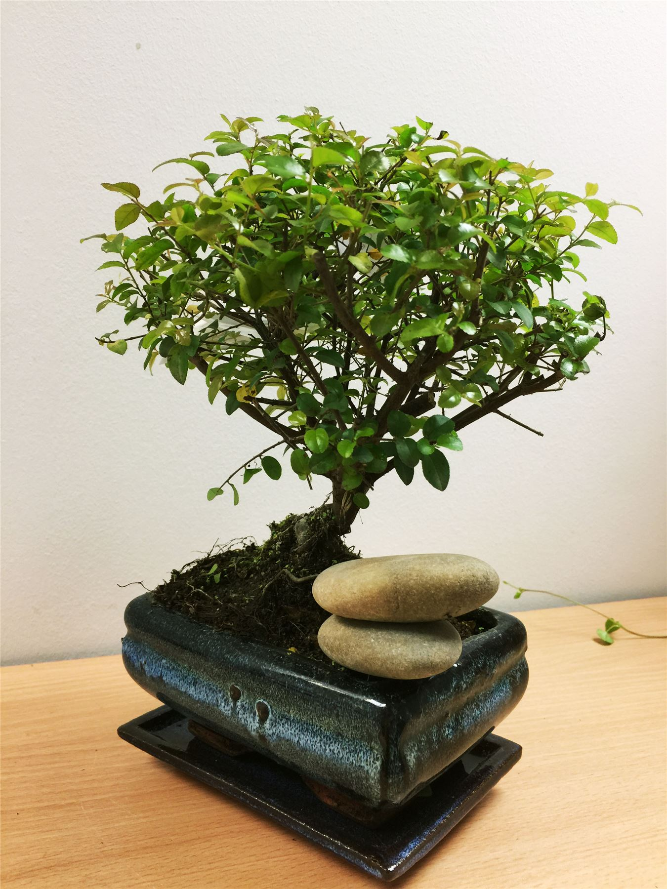 Interni-Esterni-bonsai-IN-VASO-ALBA-Redwood-Foresta-GRUPPO-IMPIANTO-Podocarpus-Yew-Pine