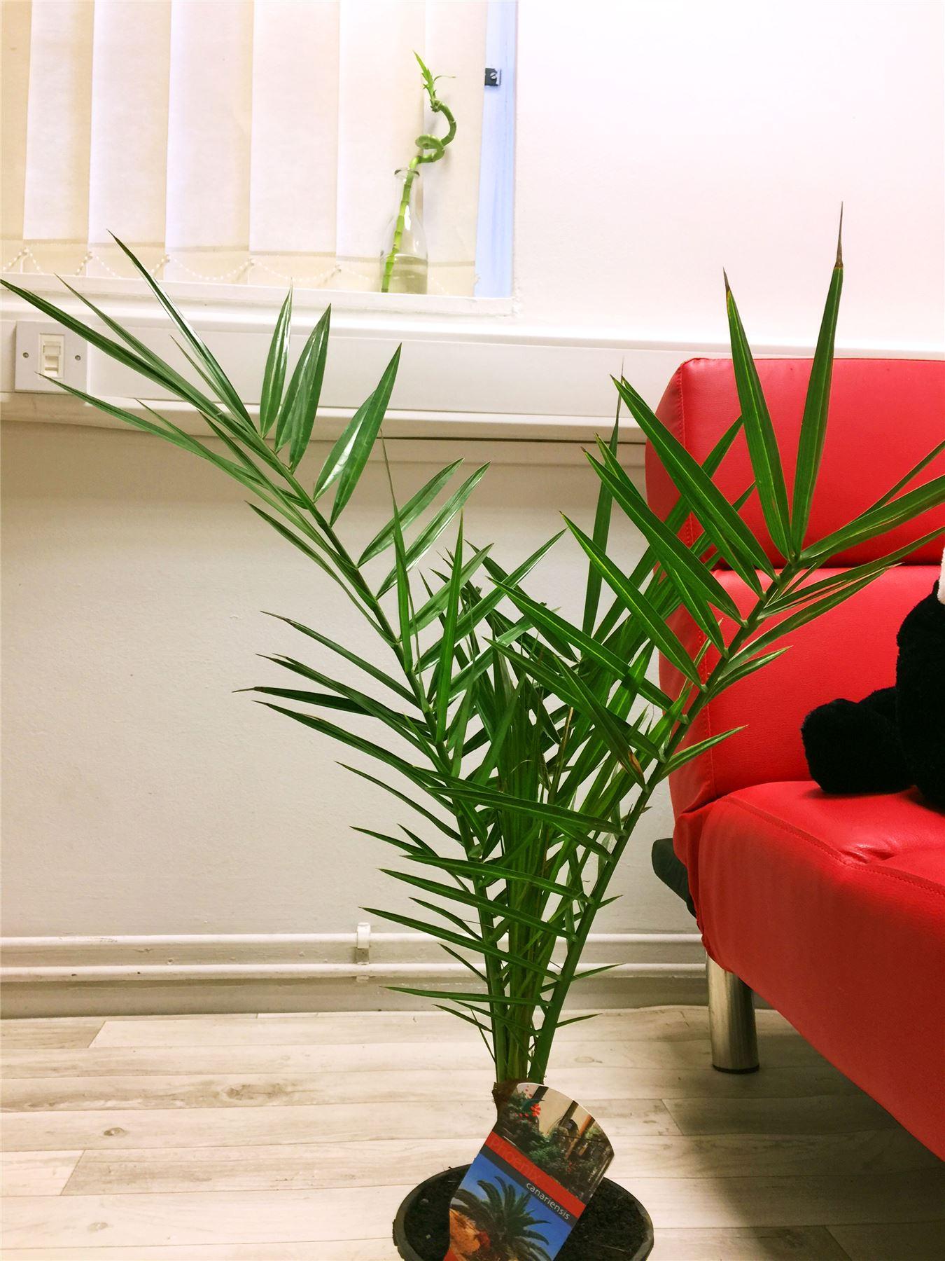 1 phoenix canary island palmier en pot int rieur ext rieur. Black Bedroom Furniture Sets. Home Design Ideas