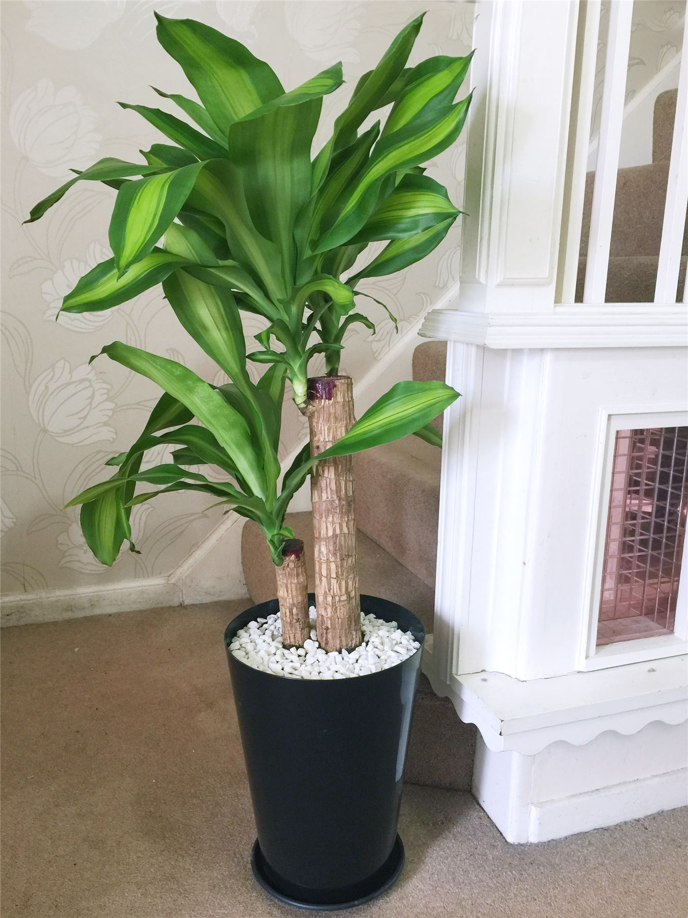 1 Large Evergreen Office House Plant Indoor Tree in Gloss ...