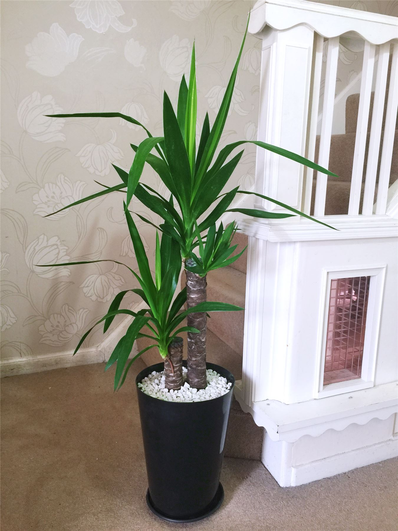 1 large evergreen office house plant indoor tree in gloss for 5 plantas decorativas