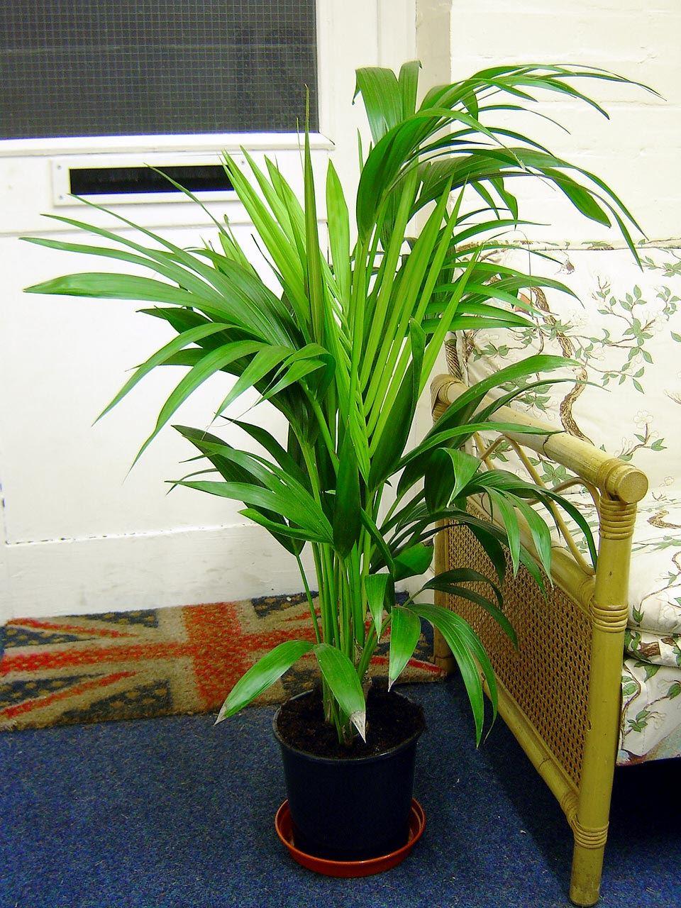 Easyplants traditionellen immergr n indoor pflanzen garten for Pflanzen evergreen