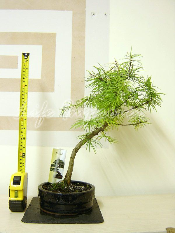 1-interni-esterni-BONSAI-in-vaso-DWAN-Redwood-Foresta-IMPIANTO-Podocarpus-Yew-Pine