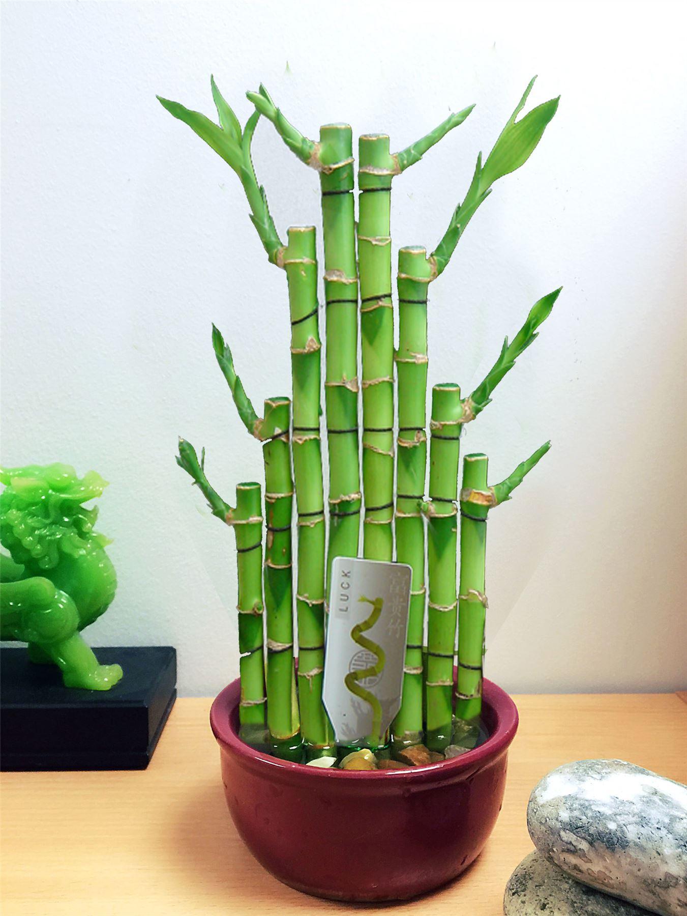 1 lucky bamboo ruban plante evergreen int rieure bonsai en pot en c ramique pour le feng shui ebay. Black Bedroom Furniture Sets. Home Design Ideas