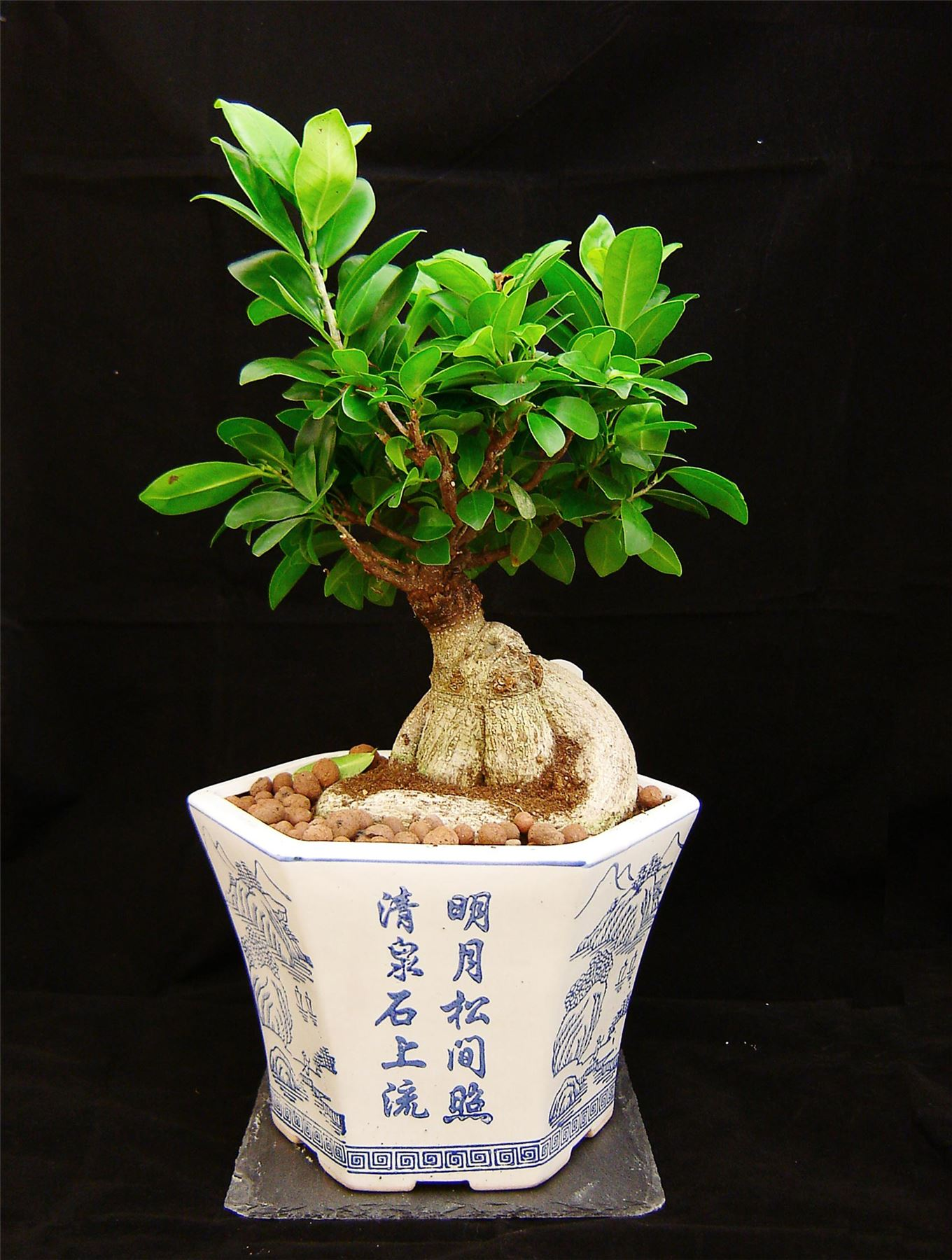 special shape bonsai ficus ginseng genseng indoor tree. Black Bedroom Furniture Sets. Home Design Ideas