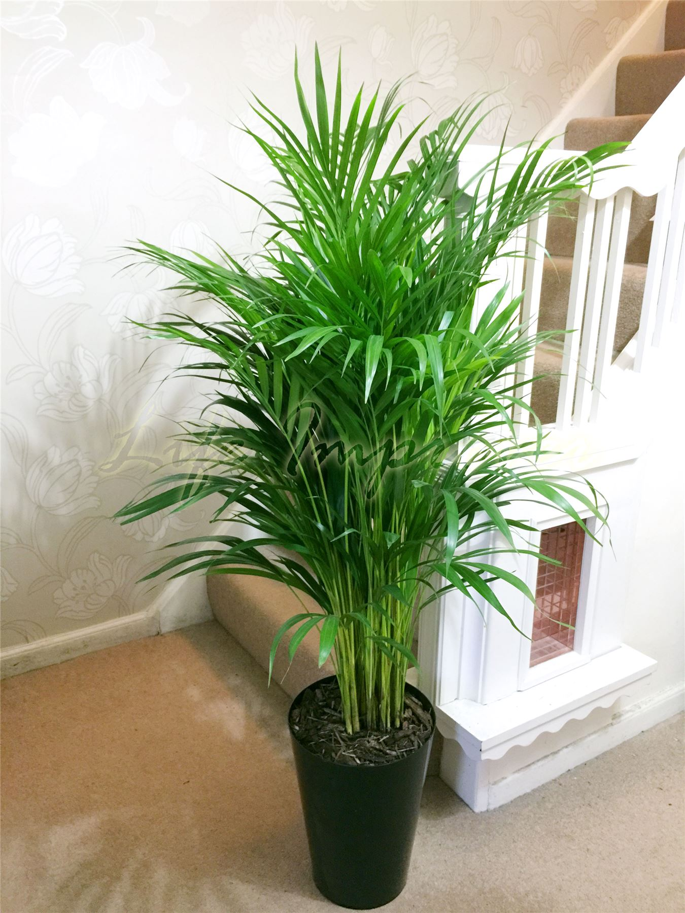 Bon 1 Large Evergreen Office House Plant Indoor Tree