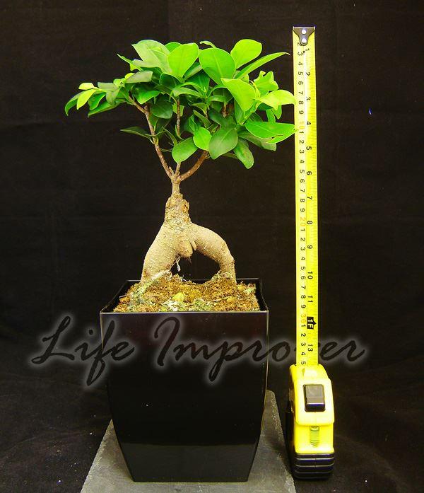 1 bonsai ficus ginseng genseng indoor tree in pot rare species gardening plant ebay. Black Bedroom Furniture Sets. Home Design Ideas