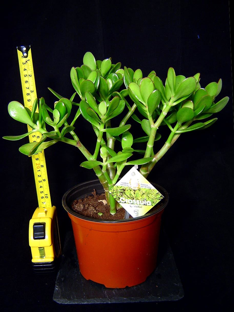 pot plante argent amiti lucky jade tree crassula ovata int rieure maison bonshai ebay. Black Bedroom Furniture Sets. Home Design Ideas