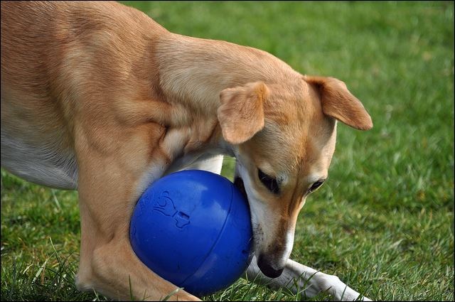 Boomer Dog Toy