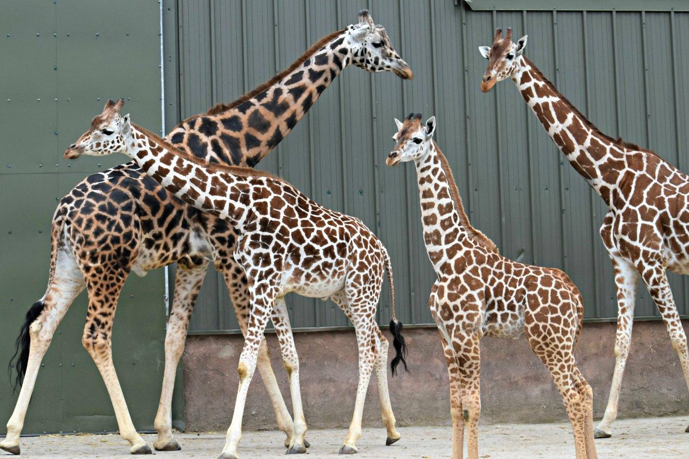 4Giraffe family