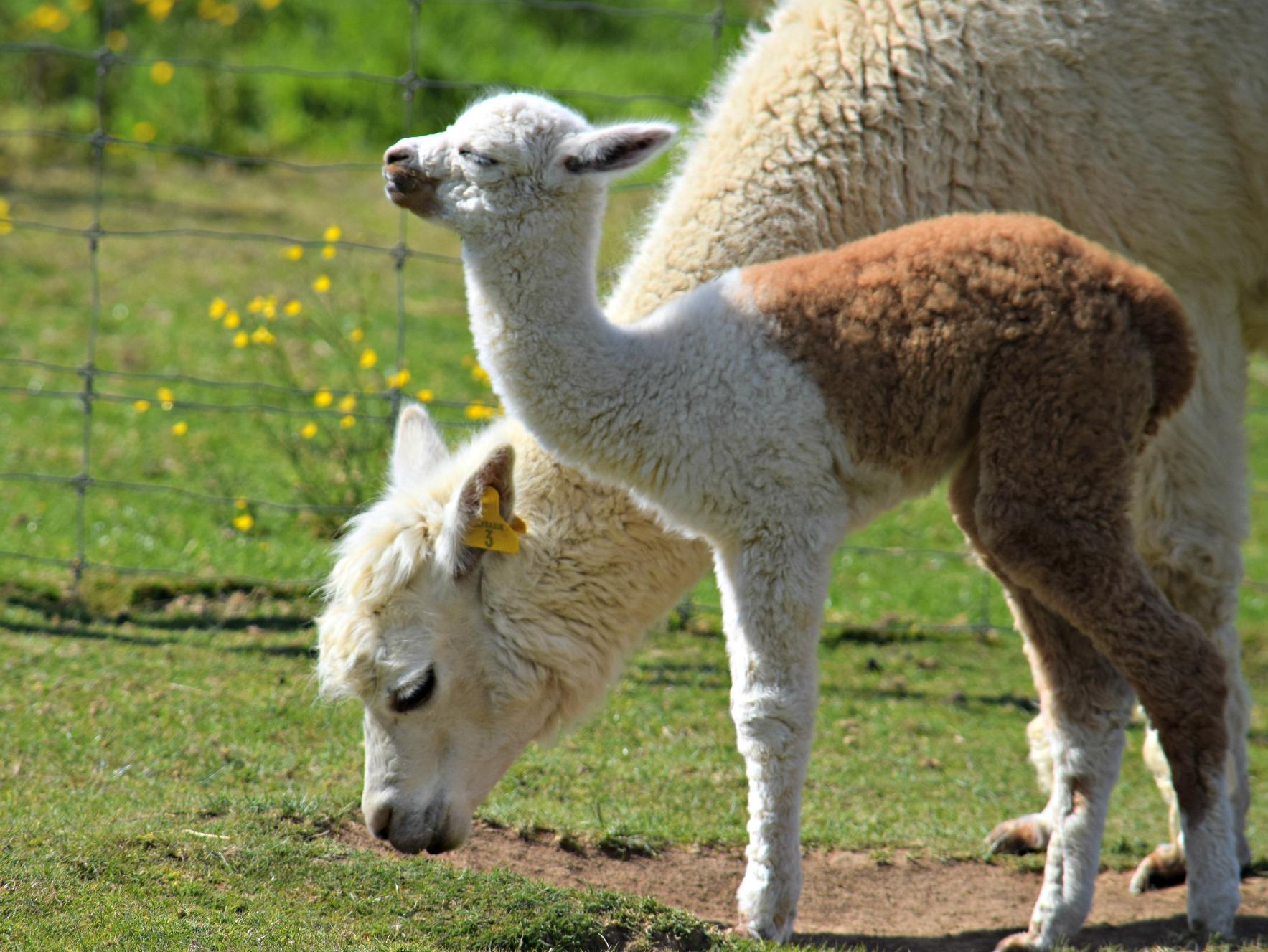 Alpaca baby_NAZF15
