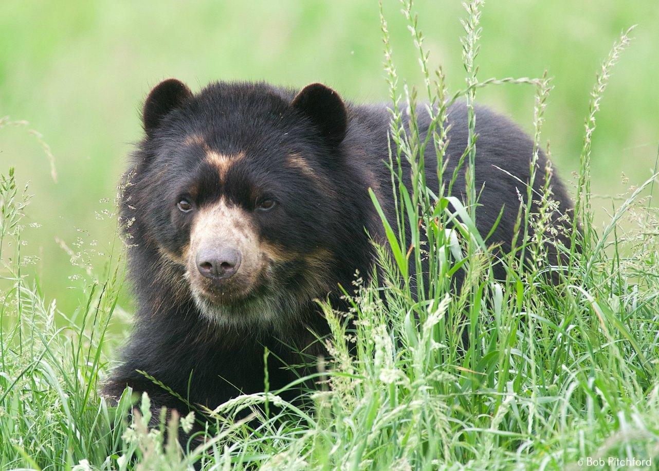 andean-bear-2016a