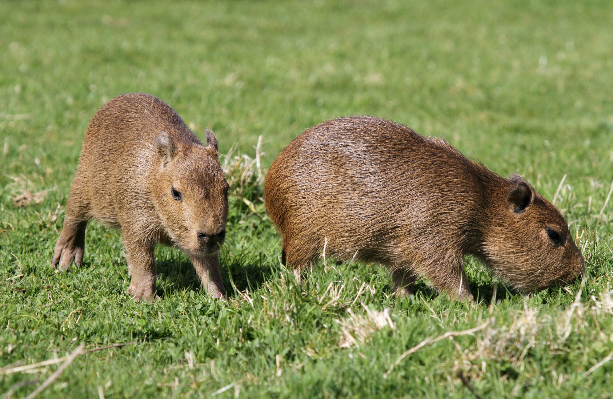Baby Capybara_NAZF1