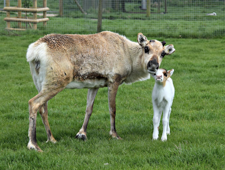 baby Reindeer_NAZF 15 b