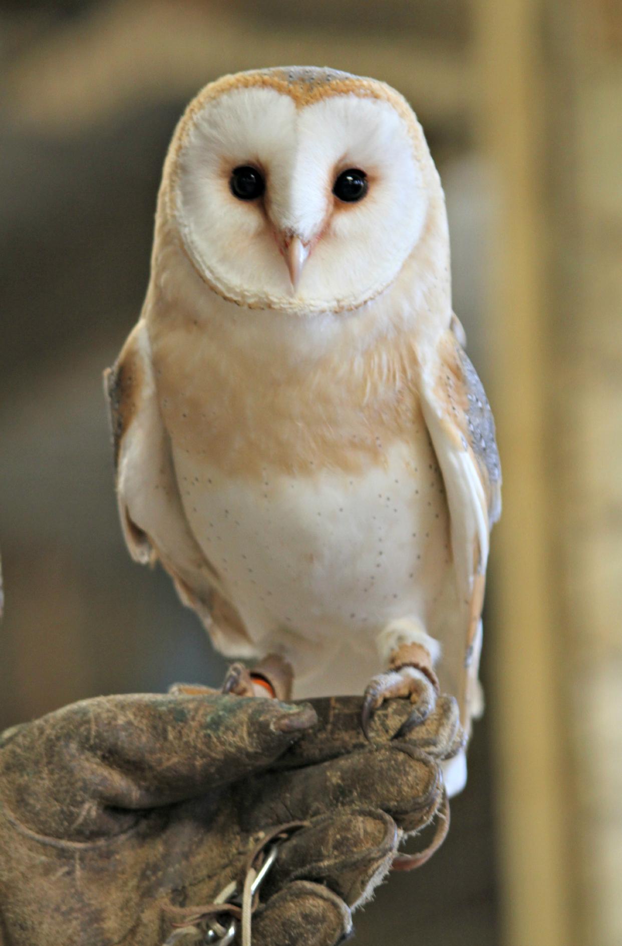 Barn owl1_NAZF