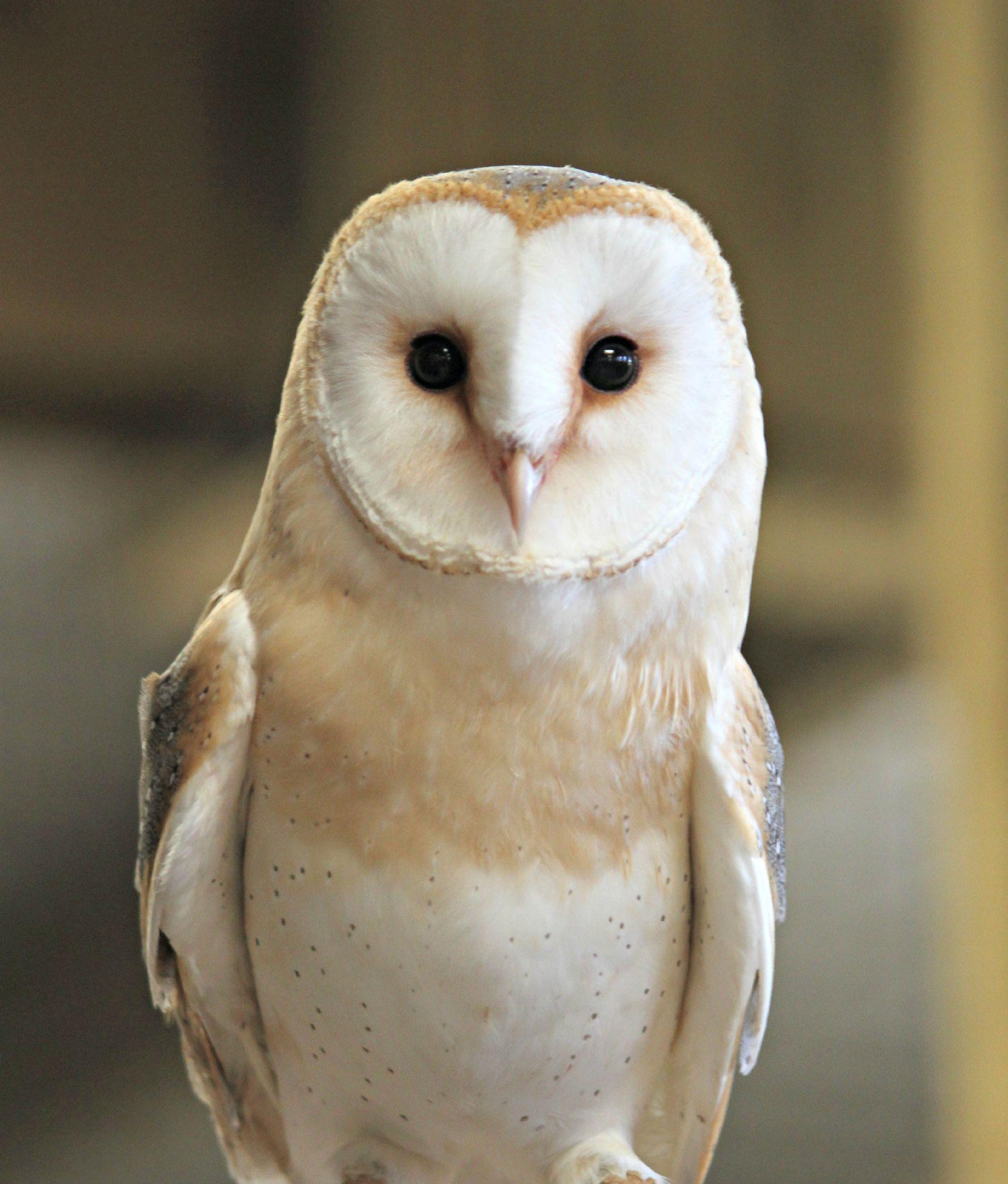 Barn Owl_NAZF1