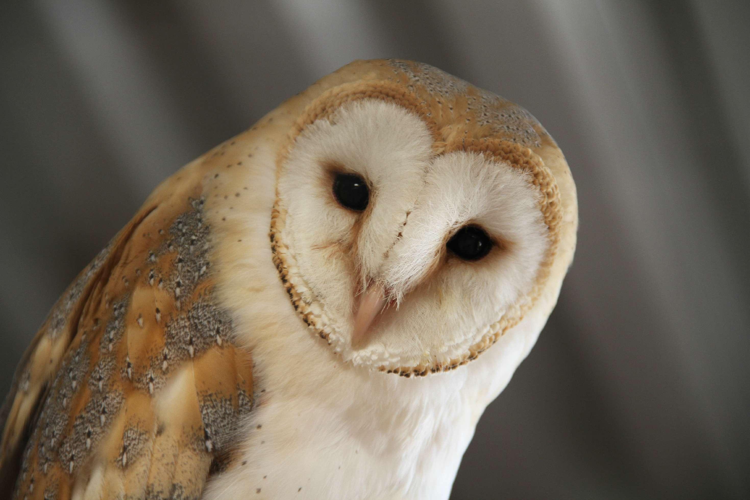 Barn Owl_NAZF2