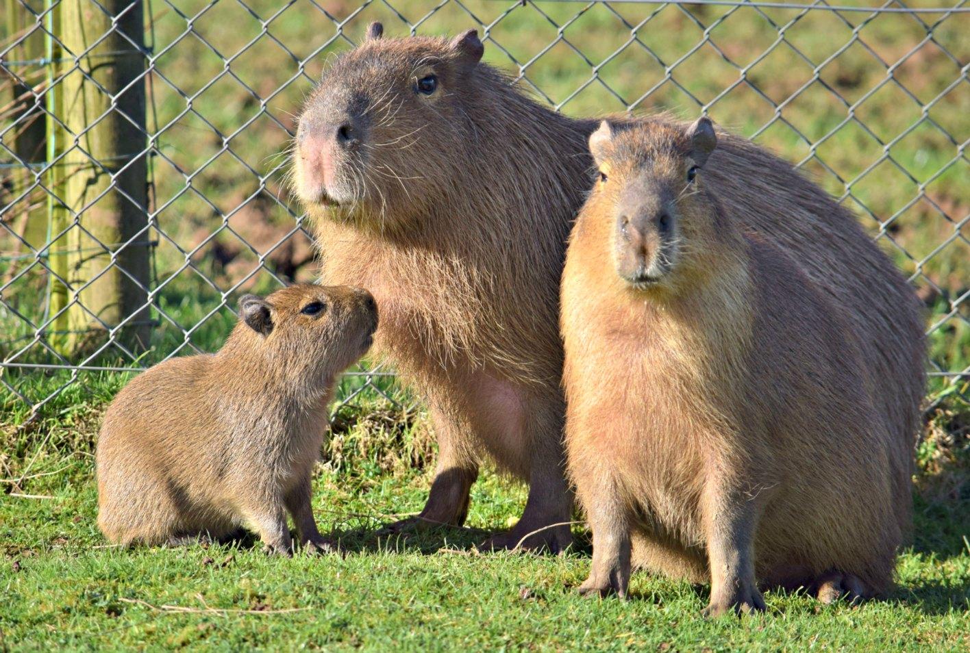 capybara2016