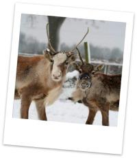 Meet a reindeer